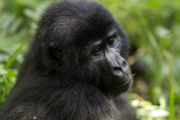 Gorille de l'Est femelle adulte © MNHN - Jean-Michel Krief